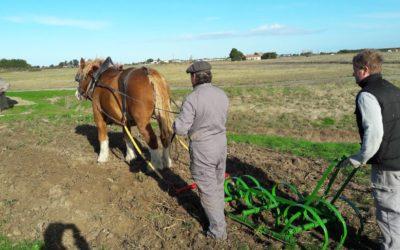 Des chevaux de trait au Daviaud